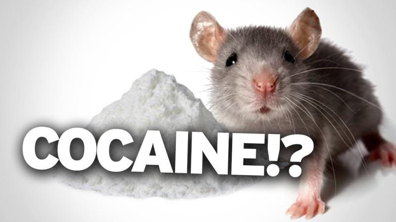 rat-on-cocaine